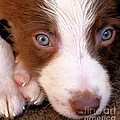 Border Collie Tan And White Pup by Brian Raggatt