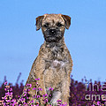 Border Terrier Dog, In Heather by John Daniels