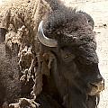 Bored Buffalo by Cindy Angiel
