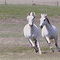 Lipizzaner Stallions by Athena Mckinzie