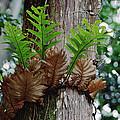 Borneo Fern A Primitve Ant Plant by Mark Moffett