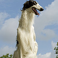Borzoi Or Russian Wolfhound by Jean-Michel Labat