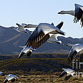 Bosque Del Apache Snow Geese In Flight by Bob Christopher