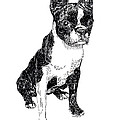 Boston Bull Terrier by Jack Pumphrey