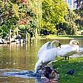 Boston Common Swan Lake by Alanna DPhoto