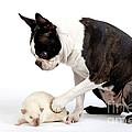 Boston Terrier & Mink Rat by Jean-Michel Labat