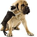 Boston Terrier And Mastiff by Jean-Michel Labat