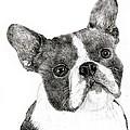 Boston Terrier by Jim Hubbard