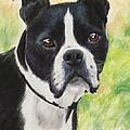 Boston Terrier by Kate Sumners