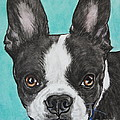 Boston Terrier by Megan Cohen