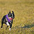 Boston Terrier by Paul Fell