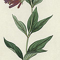Botanical Engraving by English School