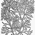 Botany: African Rue, 1597 by Granger