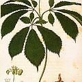 Botany: Ginseng by Granger