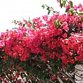 Bougainvillea by Christiane Schulze Art And Photography