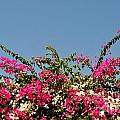 Bougainvillea Flowers by Luis Alvarenga