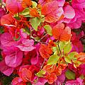 Bougainvillea Multi-colored Flowers by Kenny Bosak