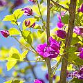 Bougainvillea by Tim Hester