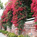 Bougainvillea Wall In San Francisco by Christiane Schulze Art And Photography