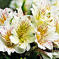 Bouquet Of Alstroemeria by Kaye Menner