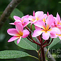 Bouquet Of Pink Plumeria by Sabrina L Ryan