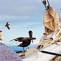 Bowsprit Pelicans by Deborah Smith