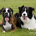 Boxer And Border Collie by Johan De Meester