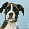 Boxer Dog, Close-up Of Head by John Daniels