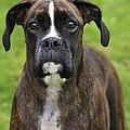 Boxer Dog by Johan De Meester