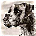 Boxer Profile by Lana Trussell