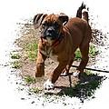 Boxer Puppy 14-1 by Maria Urso