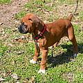 Boxer Puppy 2 by Maria Urso