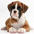 Boxer Puppy by Mark Taylor