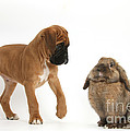 Boxer Puppy With Lionhead-lop Rabbit by Mark Taylor