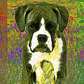 Boxer Three 20130126 by Wingsdomain Art and Photography