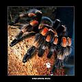 Brachypelma Smithi - Redknee Tarantula by Daliana Pacuraru