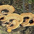 Bracket Fungi by Doris Potter