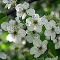 Bradford Pear Blooms by Renee Trenholm
