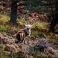 Braemar Stag by Paul Martin