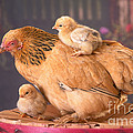 Brahma Hen And Chicks by Alan and Sandy Carey