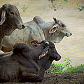Brahman Cattle by Peggy Collins