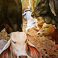 Brahman Cattle Vertical by Peggy Collins
