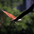 Brahminy Kite With Catch  by Ramabhadran Thirupattur
