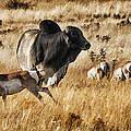 Brahma Bull Meets The Pronghorn by Priscilla Burgers
