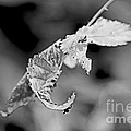 Bramble Leaves - Black And White by Mother Nature