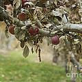 Branch Of An Apple Tree by Juli Scalzi