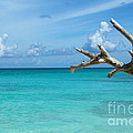 Branch Over The Caribbean by Robyn Saunders