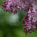 Branch With Spring Lilac Flowers by TouTouke A Y