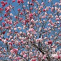 Branches And Blossoms by Carol Groenen