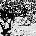 branches of green unripened oranges on an orange tree bush growing in a garden Tenerife Canary Islands Spain by Joe Fox